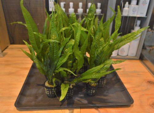 水草 苔 植物 入荷!